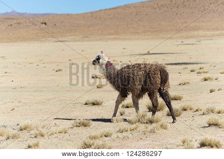 One single llama on the Andean highland in Bolivia. Adult animal galloping in desert land. Side view.