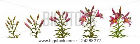 The branch of pink lilies Oriental Hybrids with buds growing in germination sequence on a white background isolated
