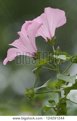Two Annual mallow flowers in profile (Lavatera trimestris)