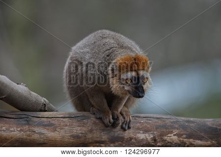 Red Fronted Lemur At The Open Resort, Magdeburg, Germany