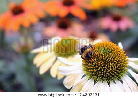 close up image of a bumble bee on an echinacea flower