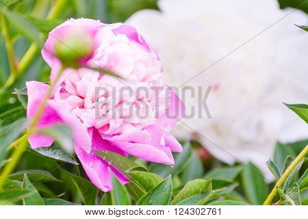 Pink And White Peony Flowers In A Magnificent Green Foliage