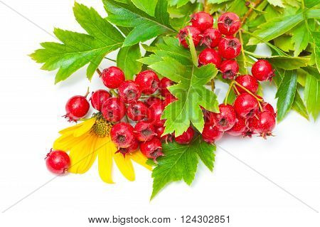 Hawthorn berries and yellow flowers on a white background