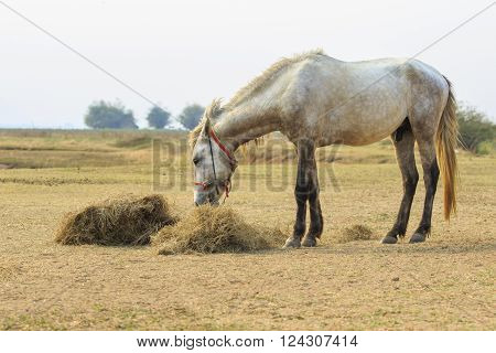 Male Horse Eating Dry Straw In Rural Field
