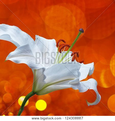 White lily flower on red background with bokeh effects and water splash