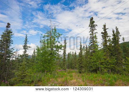 Forgotten hiking path leads through evergreen trees in Alaskan wilderness.