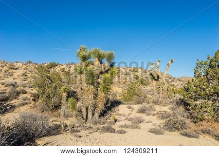 Joshua Trees found in the Mojave desert of the American southwest.