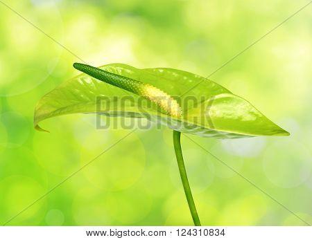 Anthurium flower on a green natural background