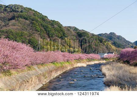 Sakura tree and river in kawazu