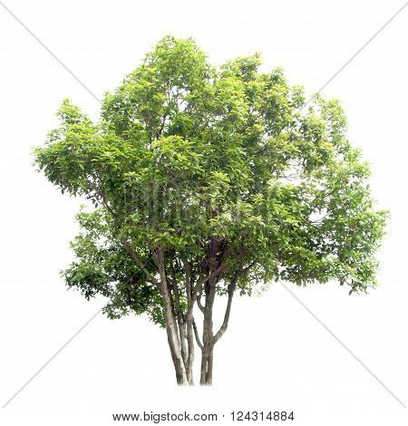 Osmanthus tree green under the white background
