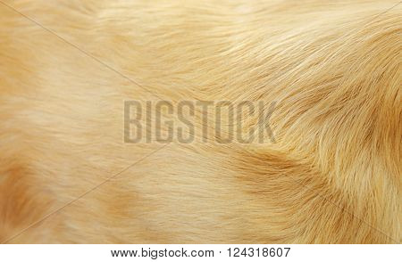 Fur of golden retriever, background