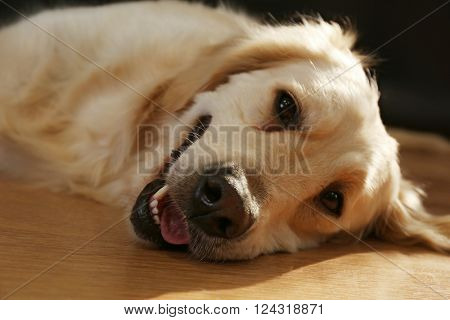 Muzzle of golden retriever on a floor, close up