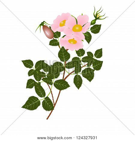 Branch of the blossoming dogrose, flowers and leaves isolated on white background, vector illustration