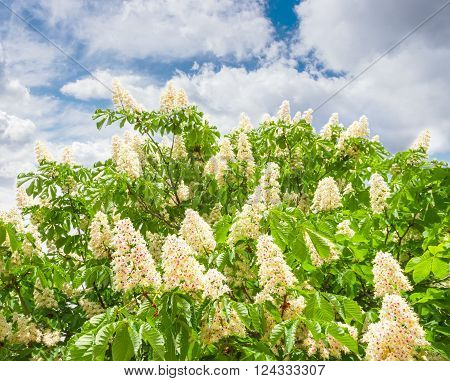 Branches of blooming horse-chestnuts with flowers against the sky with clouds