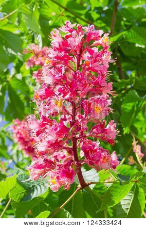 Panicle with flowers of red horse-chestnut on the background of foliage closeup