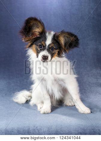 Portrait amusing Papillon puppy on a blue background
