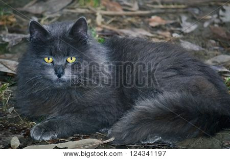 Closeup of an alone gray street cat lying down on the ground