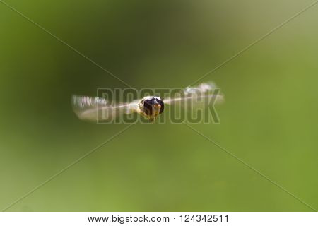 a big eyed hover fly in air
