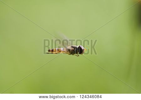a big eyed hover fly in flight