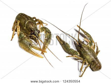 Collage of two alive river crawfish on white background