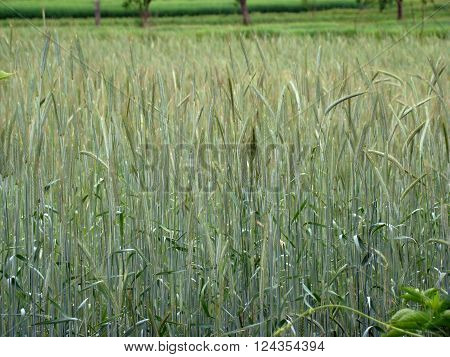 barley spike widespread cereal crop the cereal family.