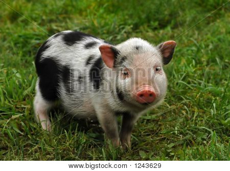 Spotted Piglet