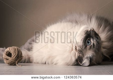 Siberian cat playing with clew background, relaxation