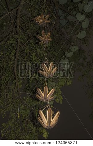 stephania elegana fruit and plant in Sri Lanka ** Note: Shallow depth of field