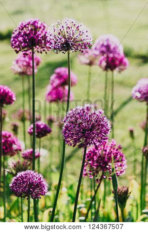 Purple allium flowers  on a garden flowerbed