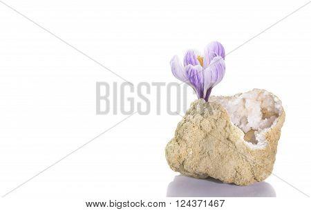 Crocus flower in quartz geode over white background