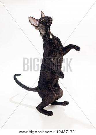 Black cat Cornish Rex standing on his hind legs