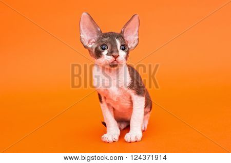 Kitten Cornish Rex with big ears bright orange background