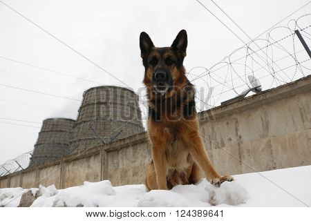 German Shepherd Dog Is Guarding An Important Object