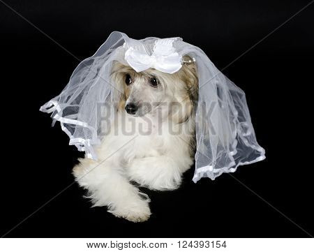 Cute Chinese Crested dog (Powderpuff variety) wearing a bridal veil, isolated on black
