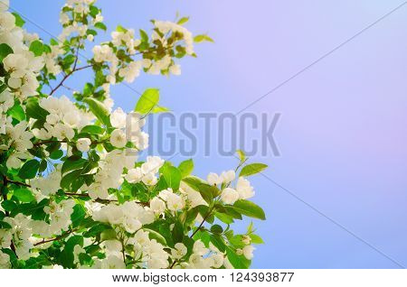 Spring flower background - white apple flowers in blossom lit by bright sunlight. Soft filter applied. Free space for text.