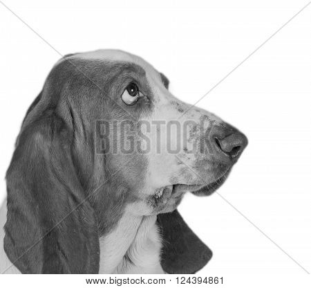 Funny-looking Basset Hound (in black and white retro style)