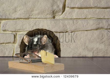 Ratón y trampa
