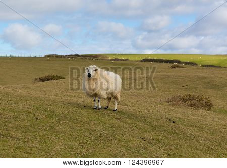 Sheep in a field with woolly fleece coat