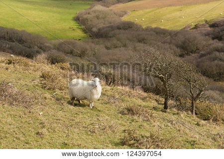 Cornwall countryside England UK with a sheep in a field