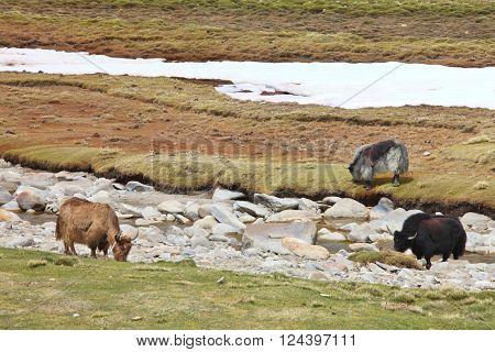 Three yaks in the Himalayas
