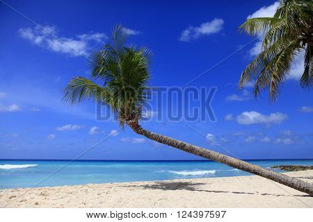 Untouched tropical beach with a palm tree in Barbados