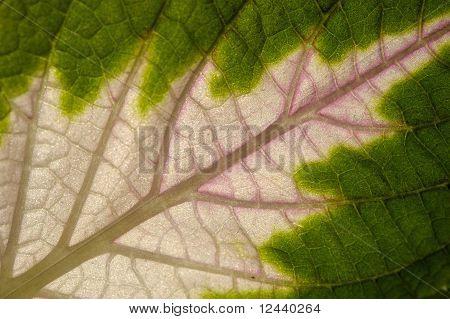 Leaf Of Coleus