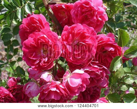 Our Rosy Carpet rose flowers, patio rose.