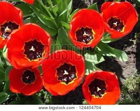 Seven red tulip flowers, Tulipa agenensis, Orithyia