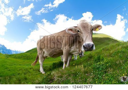 Fish-eye shot of a cow grazing in the Swiss Alps
