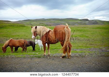 Icelandic horses, pony by the side of the road