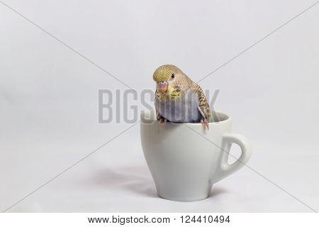 The Little Budgerigar, Pakareet on white background