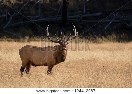 bull elk bugling during the fall rut