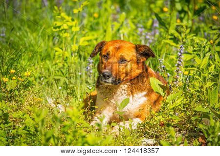 Young dog laying in the meadow grass at hot day time. ** Note: Visible grain at 100%, best at smaller sizes