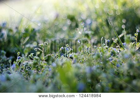 Morning dew on grass with blue flower, beautiful nature background with shallow depth of field ** Note: Soft Focus at 100%, best at smaller sizes